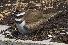 Killdeer nesting