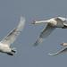 Mute Swans (Judith Rolfe)