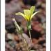 Fossil Falls Wildflowers by AussieinUSA