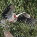 White Stork (Judith Rolfe)