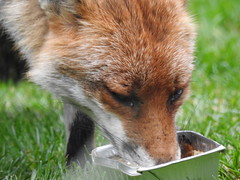 3rd  may 2017 Foxes 032