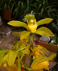 Cymbidium lowianum var. concolor species orchid, acquired bare root 7-16, 1st bloom  4-17*
