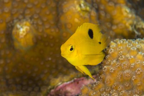 bonaire bonairesinteustatiusandsaba caribbean stegastesplanifrons underwater color damselfish diverdoug fish juveniledamselfish marine ocean reef sea threespotdamselfish underwaterphotography