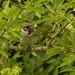 Tree Sparrow by lord wardlaw