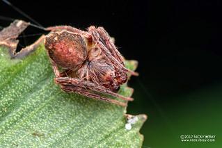Orb weaver spider (Araneidae) - DSC_4398