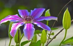First Clematis 'Nelly Moser' flower this year