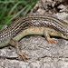 Great Plains Skink (Eumeces obsoletus) by cowyeow