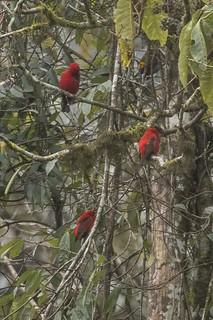Scarlet Finch - Eaglenest - India_FJ0A9603