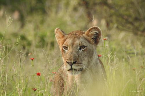 krugernationalpark malalane southafrica lion wild wildlife wildlifephotography wildcat safari