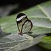 Glasswing Butterfly (Greta oto) by Seventh Heaven Photography