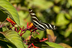 Heliconius charithonia, zebra longwing butterfly.