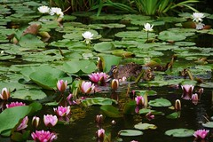 Water Lilies and...