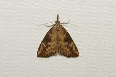 Hypena humuli (Hop Vine Moth) - Hodges # 8461
