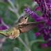 Anna's Hummingbird (Jon Isaacs)
