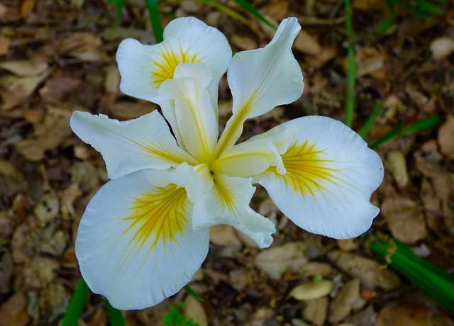 White Douglas Iris