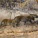 Leopards - Ranthampore (Neil Pont)