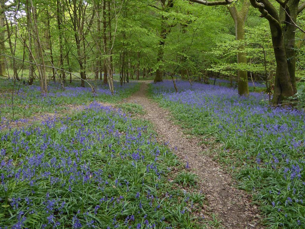 Ockley bluebells Ockley to Warnham walk