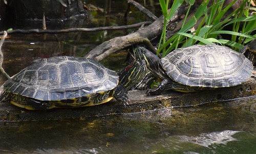 Elegant Turtles