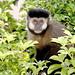 Black-capped Capuchin (Richard Smith)