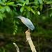 Striated Heron (Tarina Hill)