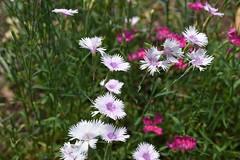 Dianthus plumarius 'Sweetness', National Herb Garden, US National Arboretum