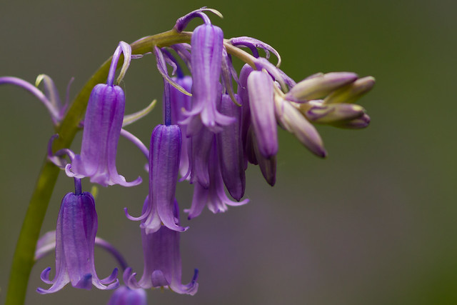 Blue bell (Hyacinthoides non-scripta), Canon EOS 7D, Canon EF 300mm f/4L IS