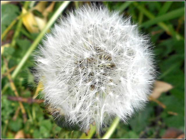 Dandelion Seed Head ..