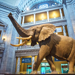 Fénykövi Elephant in the National Museum of Natural History