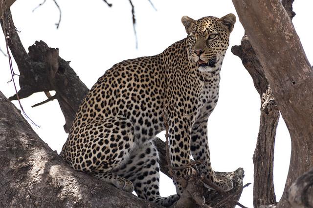 The Leopard - Serengeti