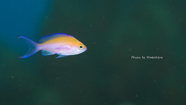 美しいフタイロハナゴイの幼魚発見☆