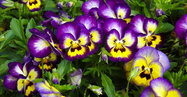 Pansies Galore, Fujifilm FinePix S4080