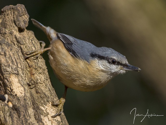 Nuthatch at Nene Park 13/03/17