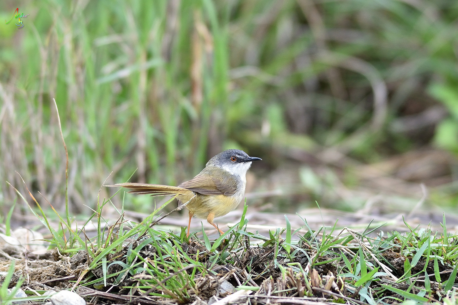 Yellow-bellied_Prinia_2902