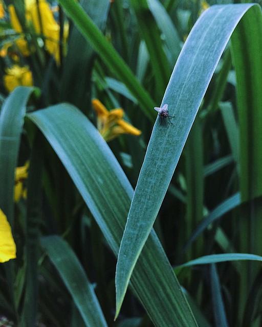 #��#��#⚜️#fly#iris###菖蒲#黄鸢尾#蜜蜂#flower#shanghai#上海#vscocam#vsco#春#春天#spring#iphoneonly#竹园绿地
