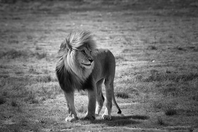 Tanzania's Great Lions