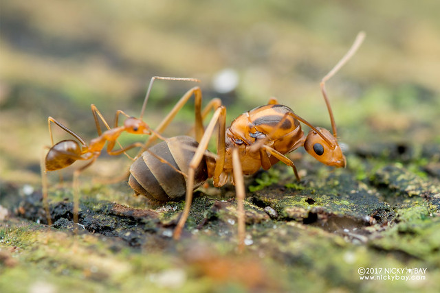 Queen ant with workers (Anoplolepis gracilipes) - DSC_4216