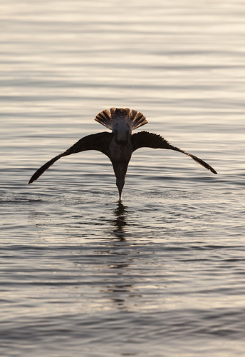 <p>A black-backed seagull dives into shallow water to catch starfish in Oriental Bay, Wellington, New Zealand.</p>