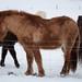 Icelandic Horses (Charles McMaster)