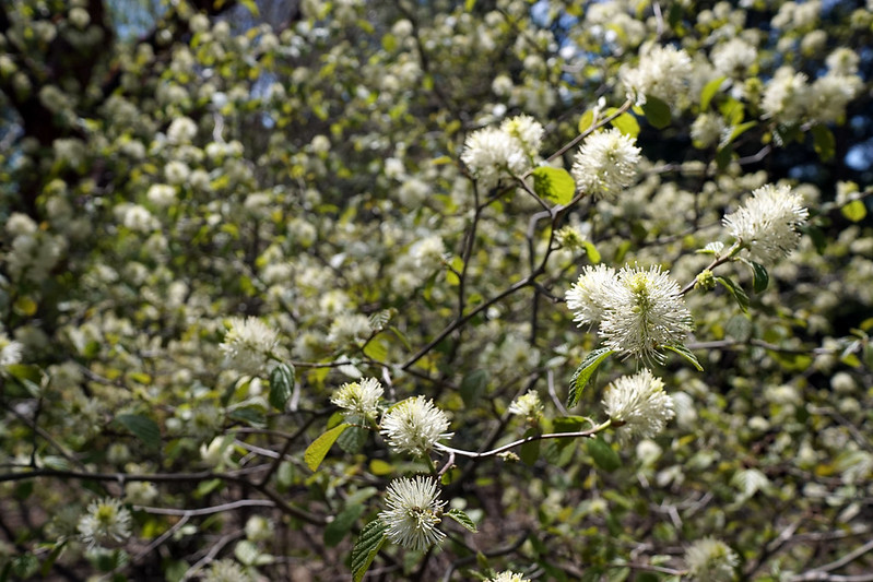 Fothergilla major (Mountain Witch Alder)