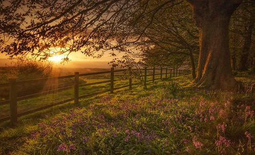 Bluebells Sundown