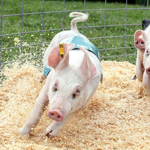 Pigs, Ducks and Goats from Pleasure Valley Farm of nearby Adell, WI entertain with four racing shows daily during the Dodge County Fair August 16-20, 2017 (link in bio) #dcfairwi #dodgecountyfair #wisconsin #wisconsinsummer #wisconsinfestivals #pigraces #