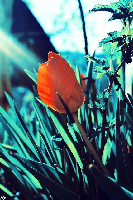 Tulip @springtimebouquet