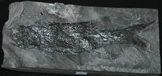 Rhabdolepis macropterus (fossil fish) (Lower Permian; Germany) 2