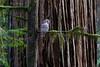 Owl in Jedediah Smith