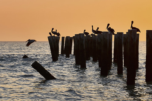 naples old pier florida usa nikon nikond810 joaofigueiredo joaoeduardofigueiredo water sea birds bird pelikan pelikans sunset