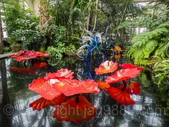Persian Pond and Fiori (2017) and Blue Herons (2006) within the Haupt Conservatory, Dale Chihuly Exhibit at the New York Botanical Garden