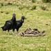 Black Vulture / Zopilote común (Coragyps atratus) por elrayman210