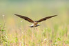 Collared pratincole or Common pratincole (Glareola pratincola) 燕鸻 yàn héng by China (Jiangsu Taizhou)