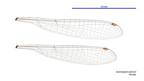 Austroagrion watsoni female wings