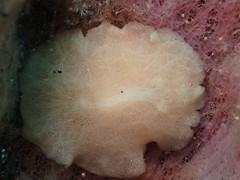 シロサメハダウミウシ Rostanga sp. 3